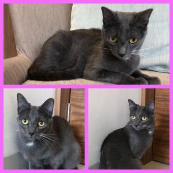 Guapa gatita azul ruso en adopcion